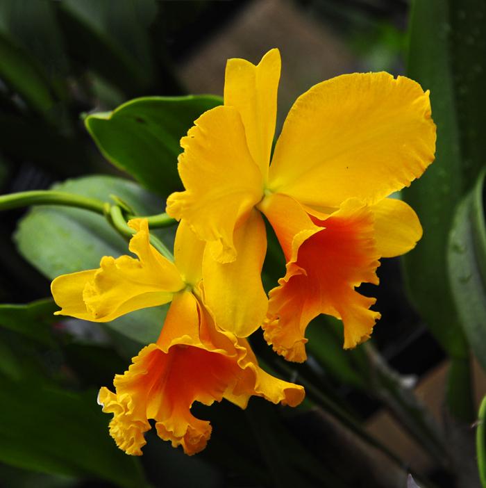 Orchid - Ryancattleanthe Mari Pangestu