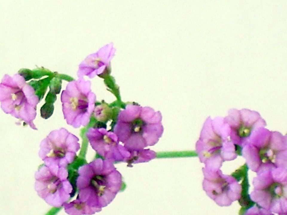 Flower, Chennai, India