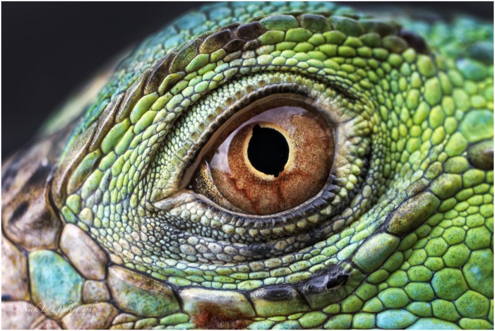iguana macro eye