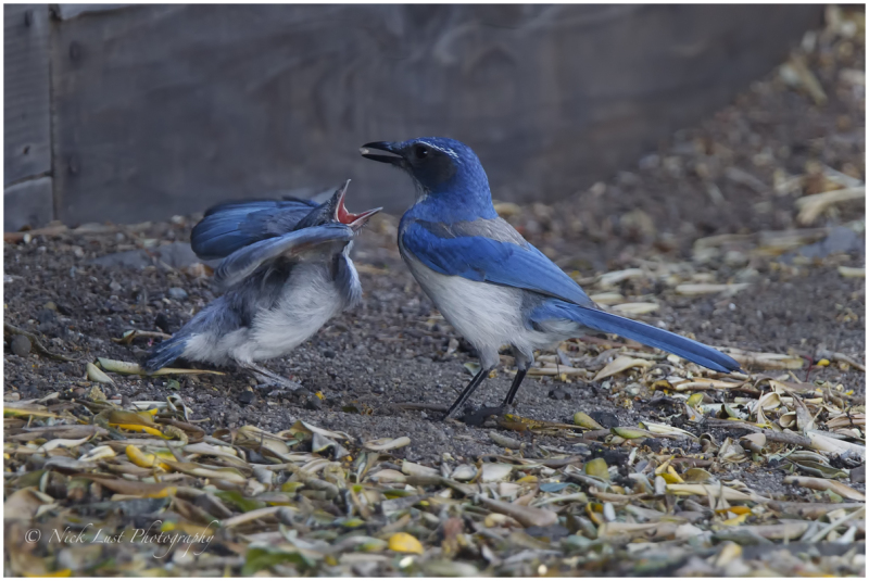 Blue Jay, mothers day, feeding, spring time