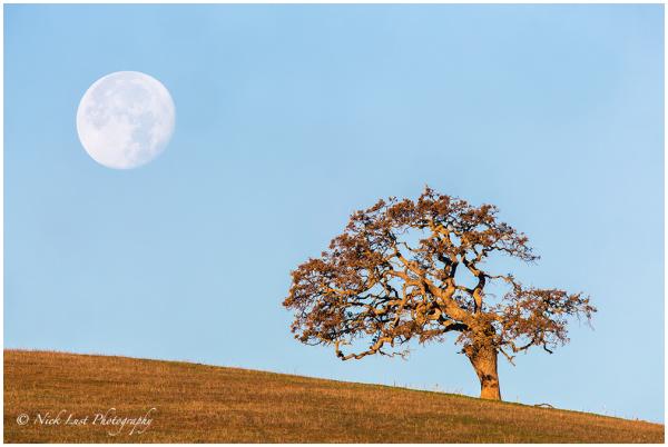 San Benito County; California; Oak Tree; Full Moon