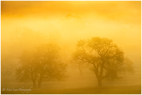 fog, san benito county, oak trees