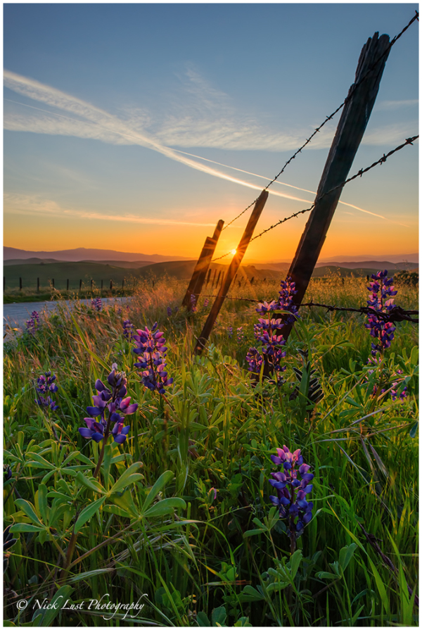 lupine, wildflowers, california