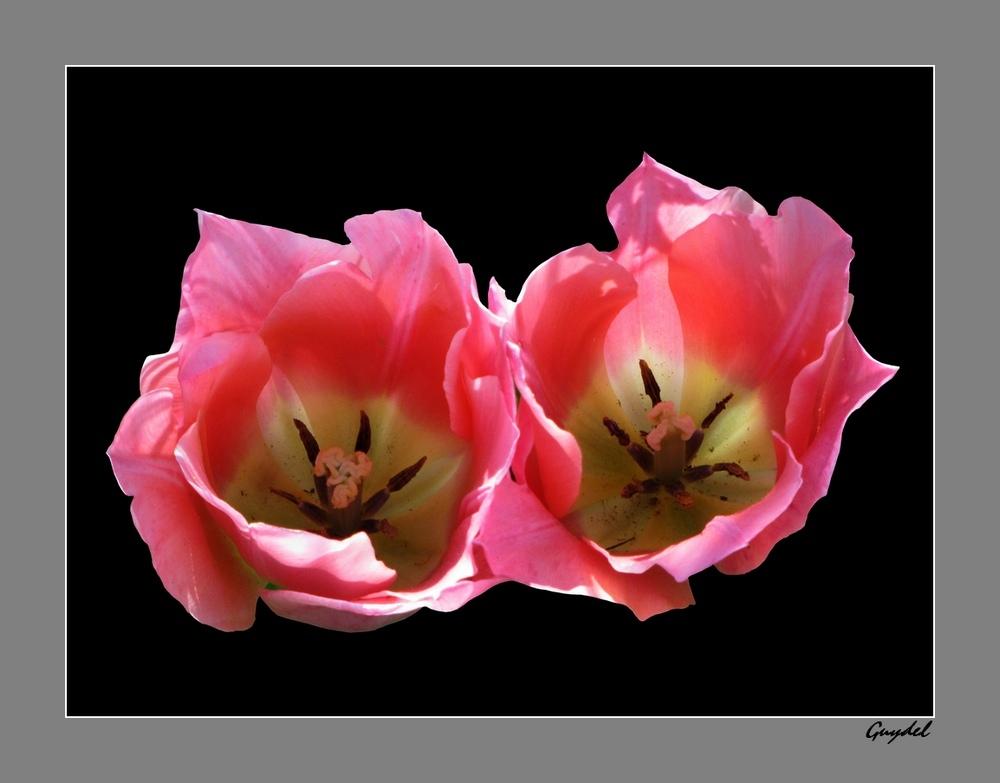 Duo Rose