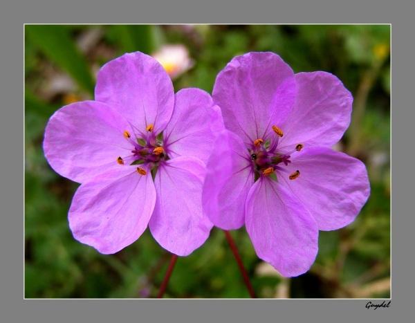 Fleurette de Talus