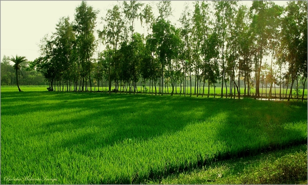 Paddy Field in India