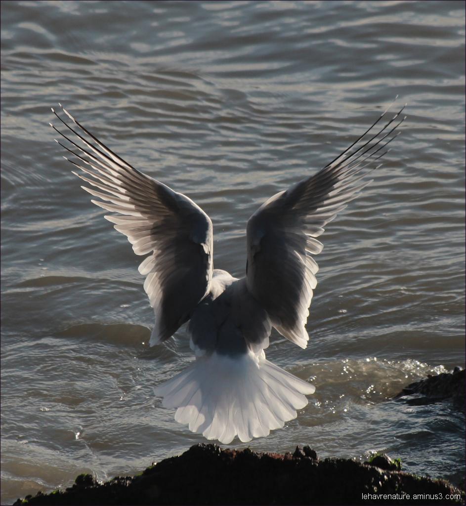 goeland  argenté           silver gull
