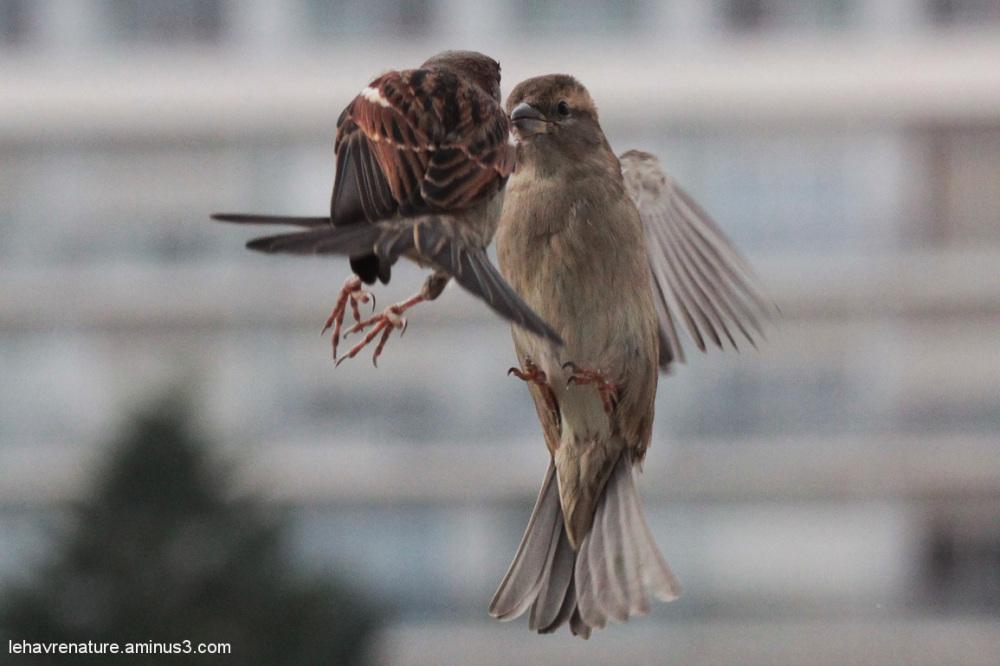 moineau domestique   house sparrows