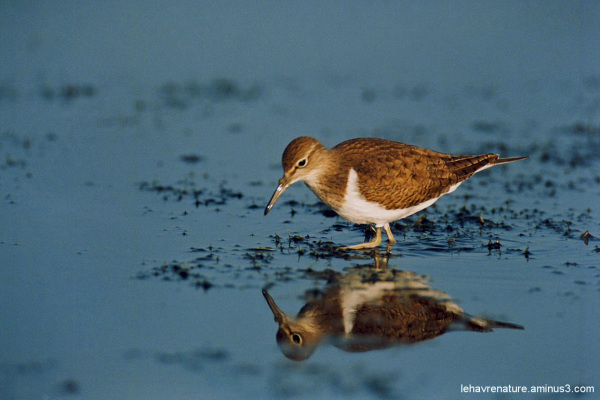 chevalier guignette     / Common Sandpiper