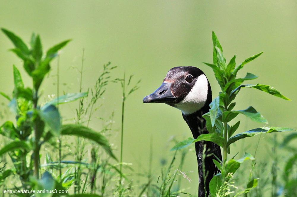 bernache du canada /Canada Goose