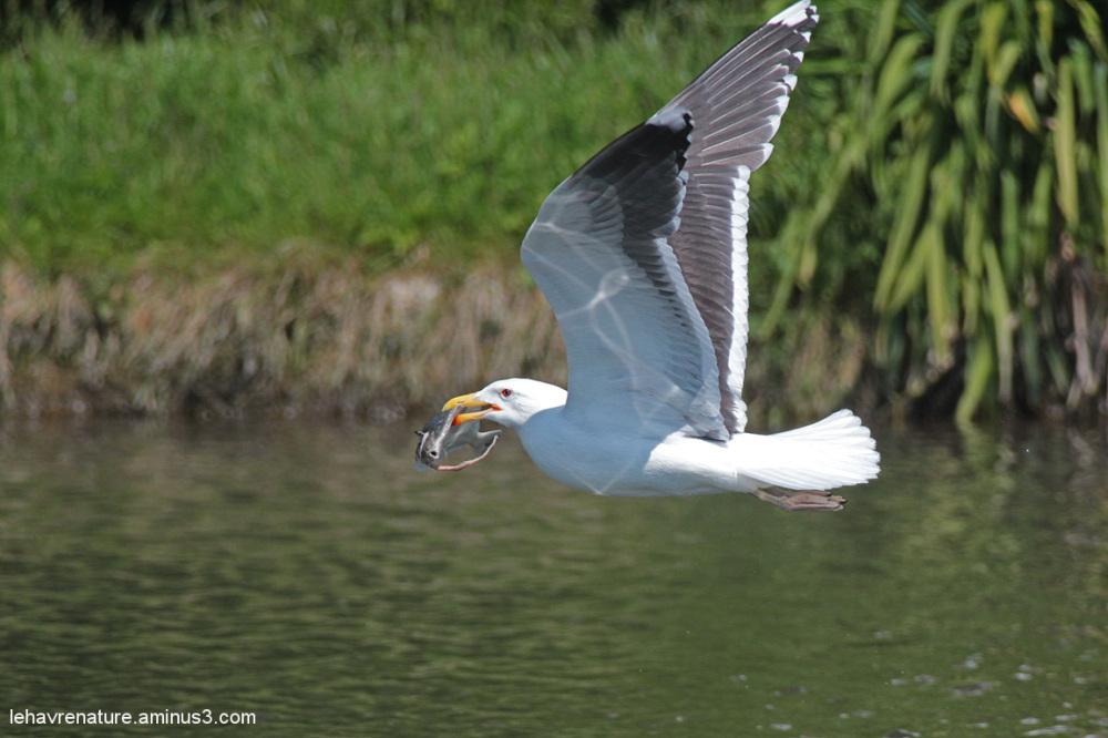 goeland  argenté       /    silver gull