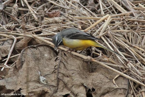 bergeronnette des ruisseaux / Grey Wagtail