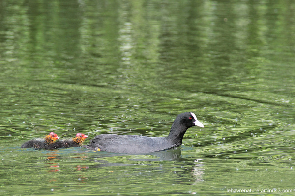 Foulque macroule  /  Coot