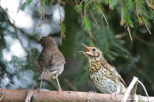 Grive musicienne        /    Song Thrush