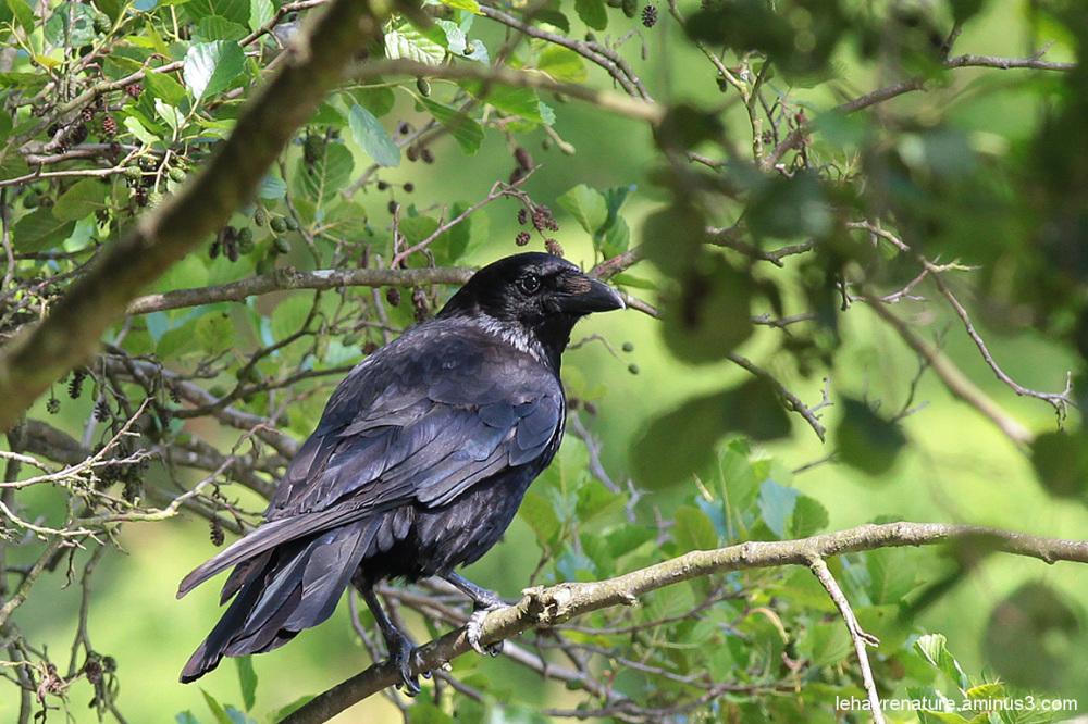 corneille  /  crow
