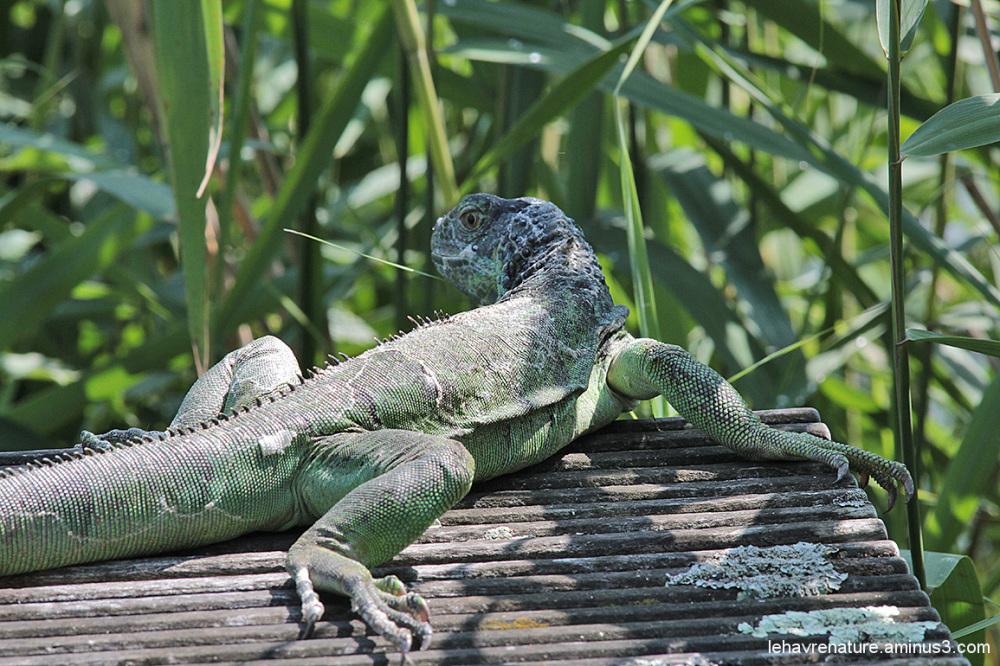 Iguane / iguana