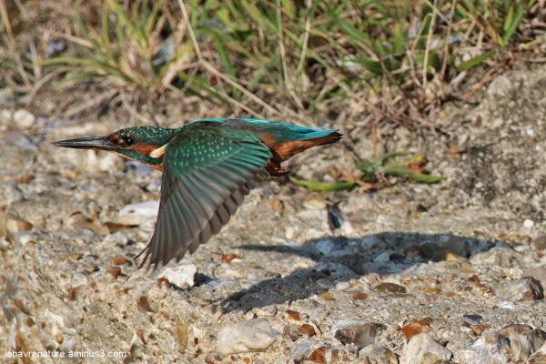 martin pêcheur  / kingfisher