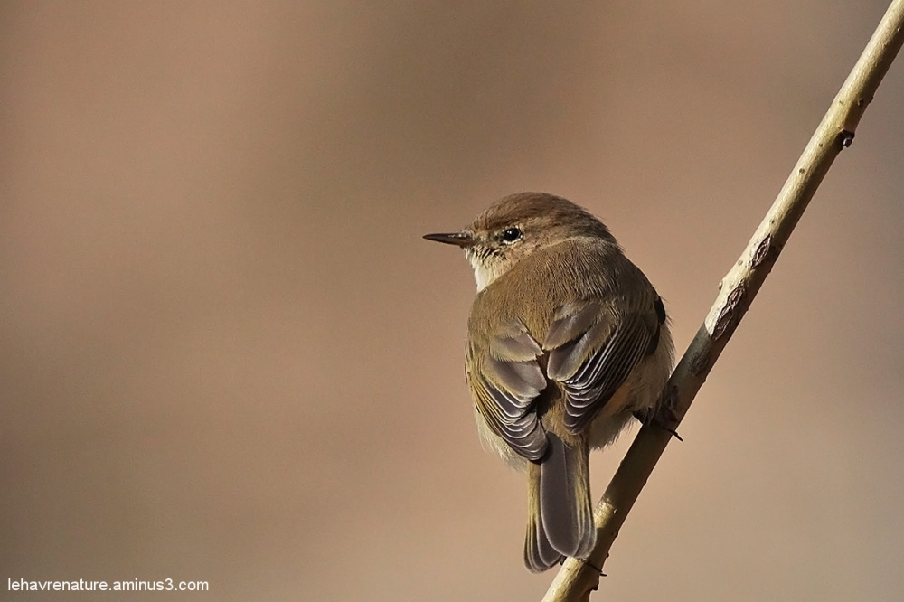 pouillot fitis  / willow warbler