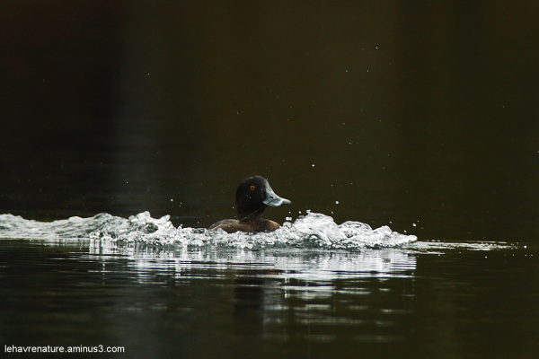 morillon  /  tufted duck