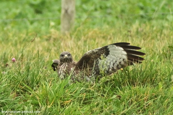 Buse variable   / Common Buzzard