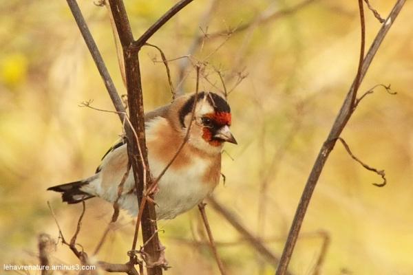 Chardonneret  / goldfinch