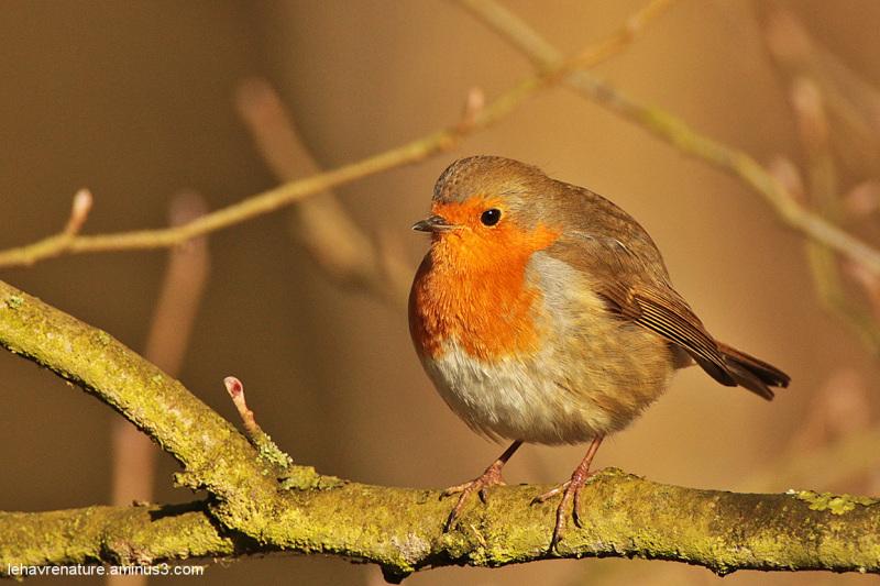 rouge-gorge  /  robin