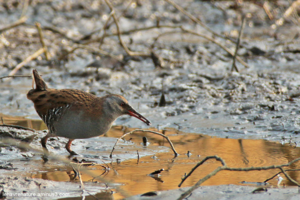 râle d'eau  /  Water Rail