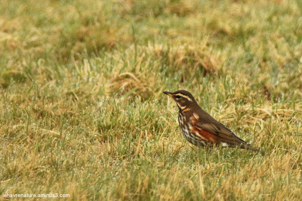 Grive mauvis  /  Redwing