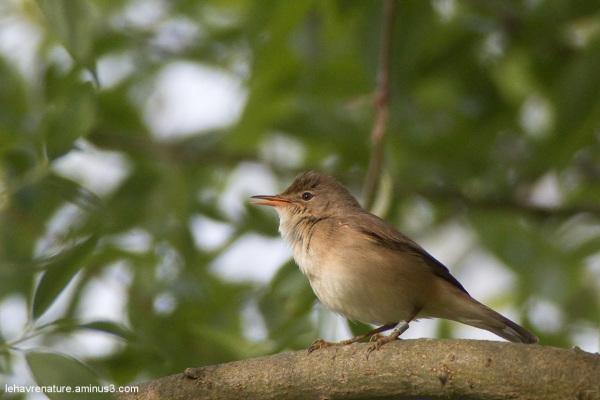 Rousserolle effarvatte  / Marsh Warbler