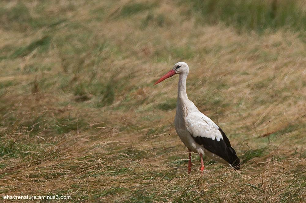 Cigogne blanche   /  white Stork