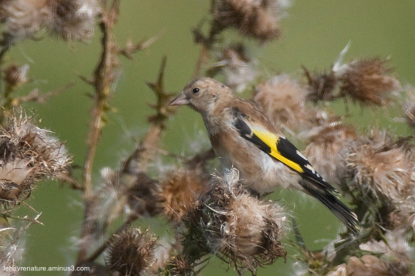 Chardonneret  / goldfinch