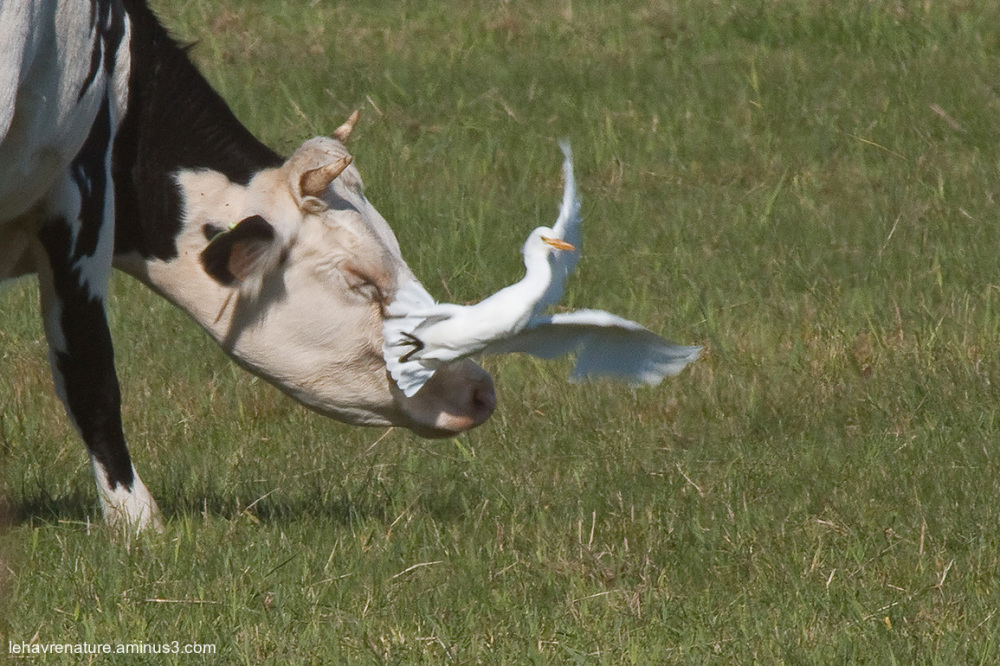 Hérons garde - boeufs  /  Cattle egrets