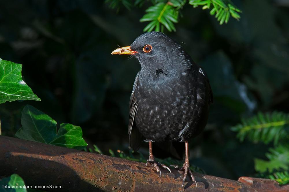merle  / blackbird