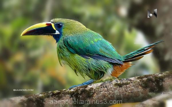 Toucan parrot tucan bird costa rica aaanouel
