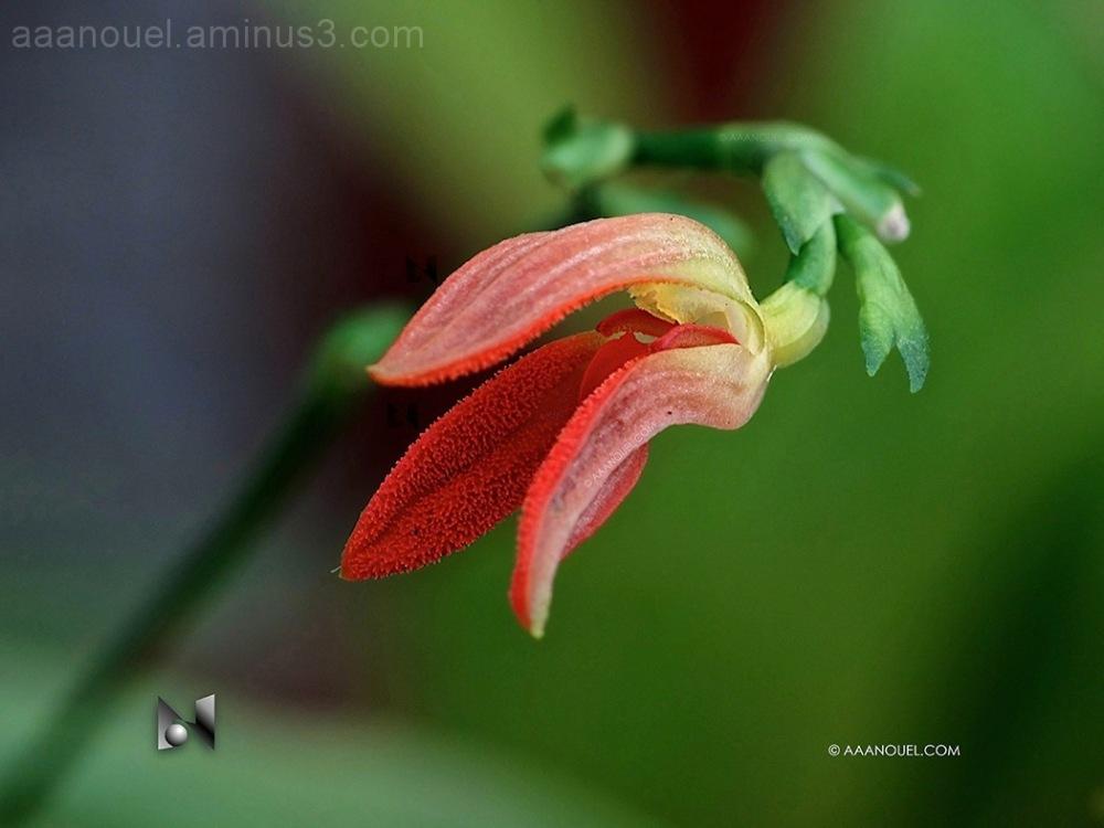 Nature flower tiny orchid orange costa rica
