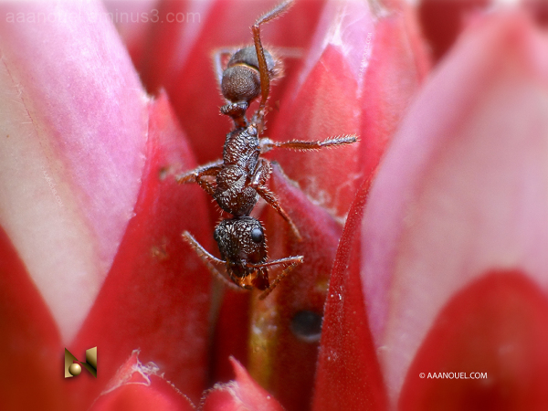 tiny ant insect red flower aaanouel
