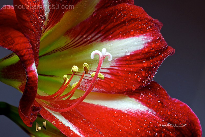 lily macro flower red lirio aaanouel Costa Rica