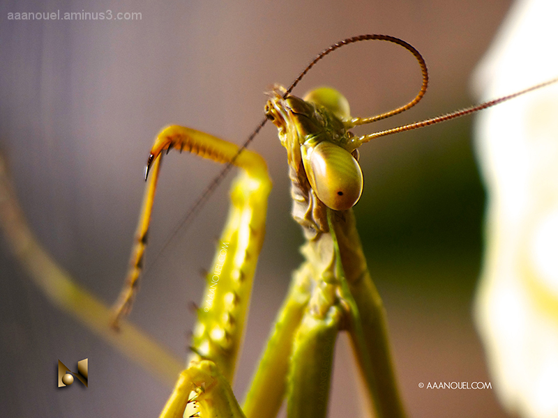 Mantis religiosa head eyes antennae cleaning