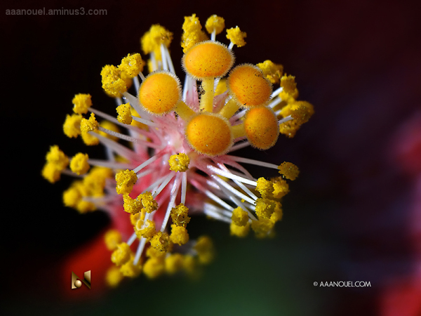 Hibiscus / Stamen and Stigma