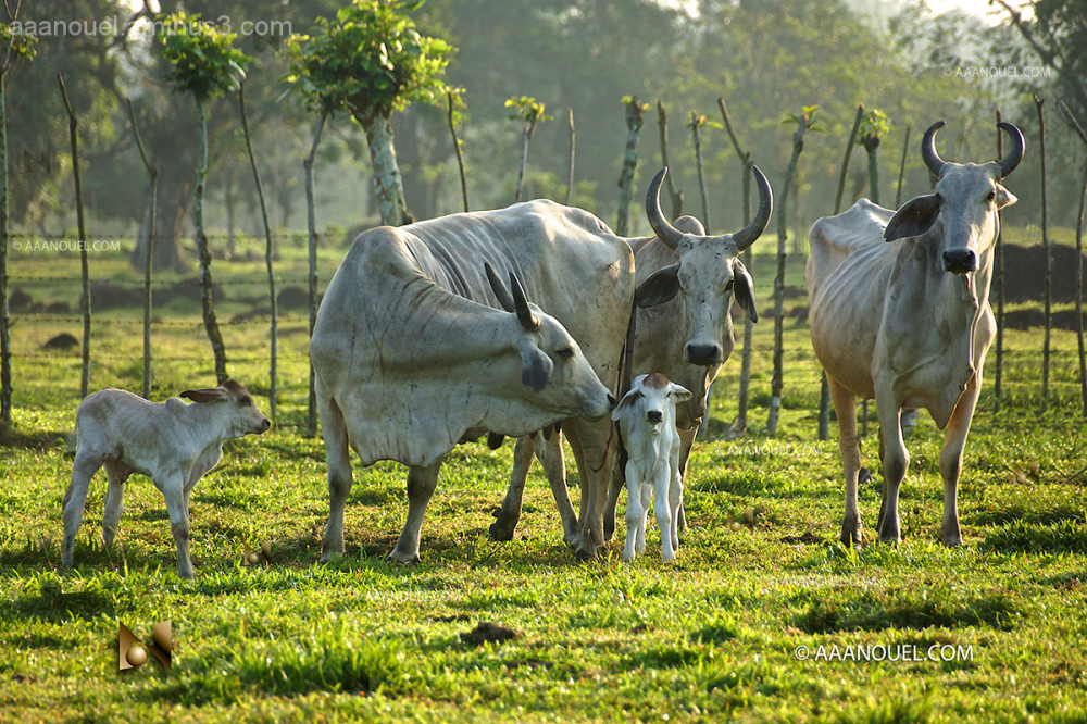 nursery cow calf calves cattle bramha aaanouel