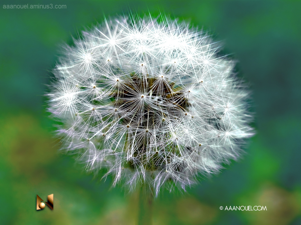 Dandelion star cumulus.
