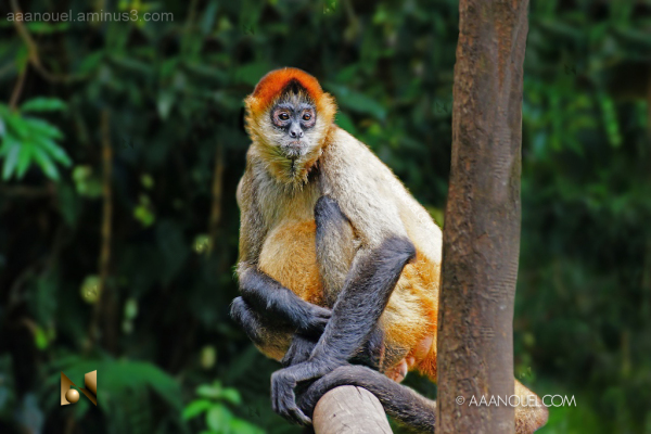 mono araña spider monkey costa rica aaanouel