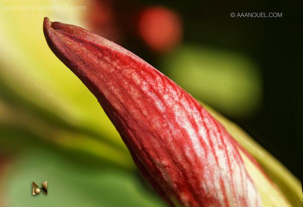 Iris cocoon lirio capullo aaanouel
