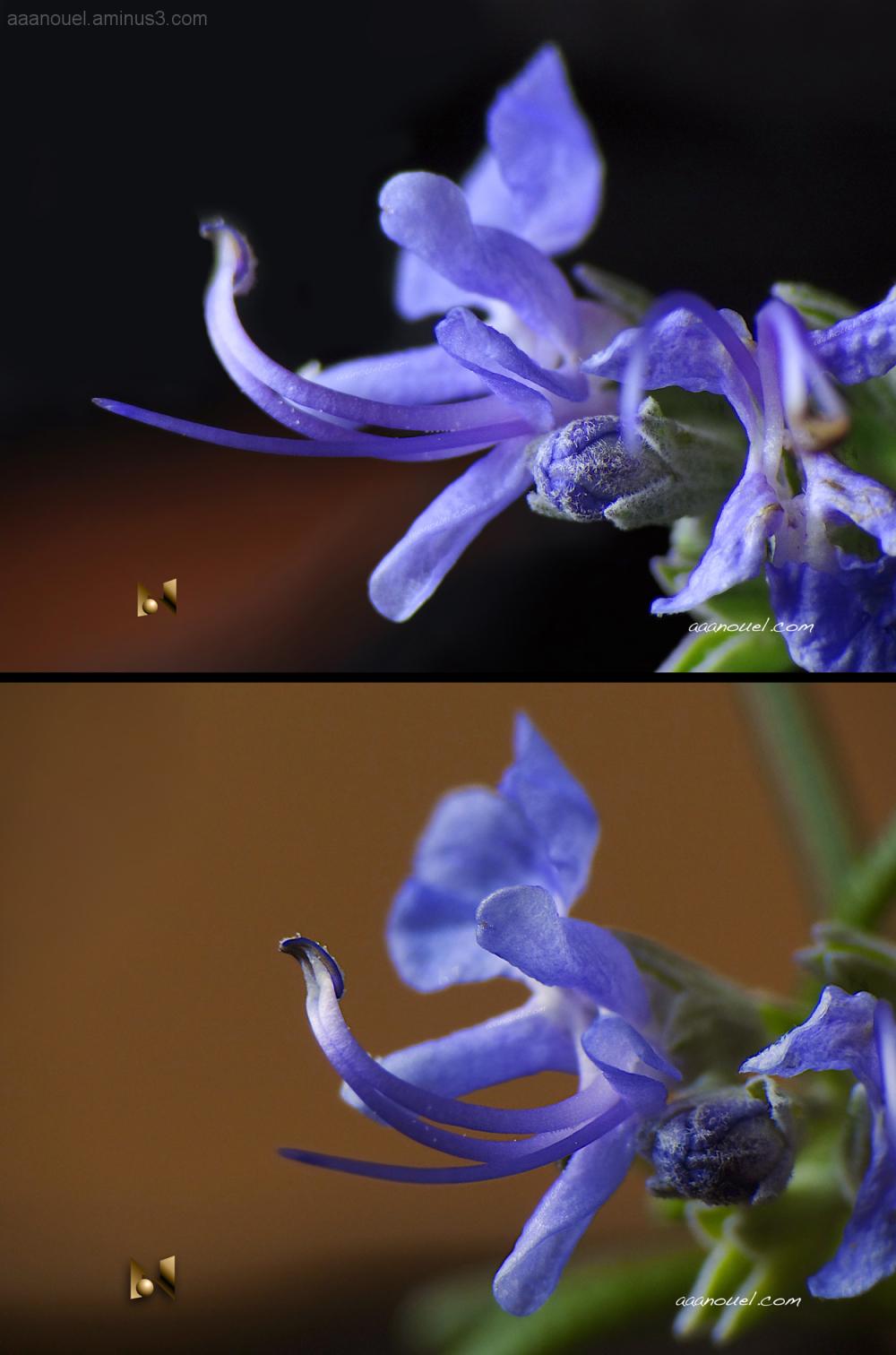 romero rosemary tiny flower macro aaanouel Marumi