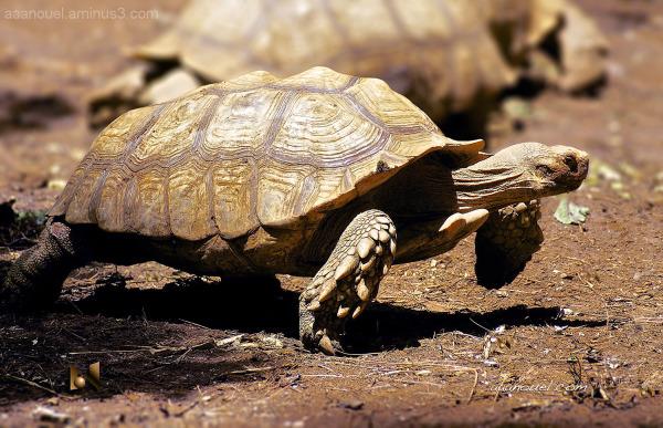 big turtle running aaanouel