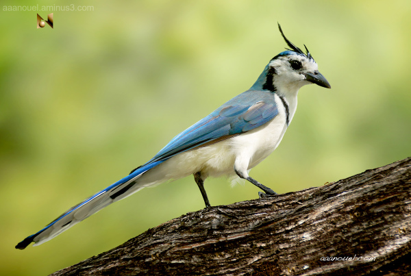 Calocitta formosa Costa Rica aaanouel urraca bird