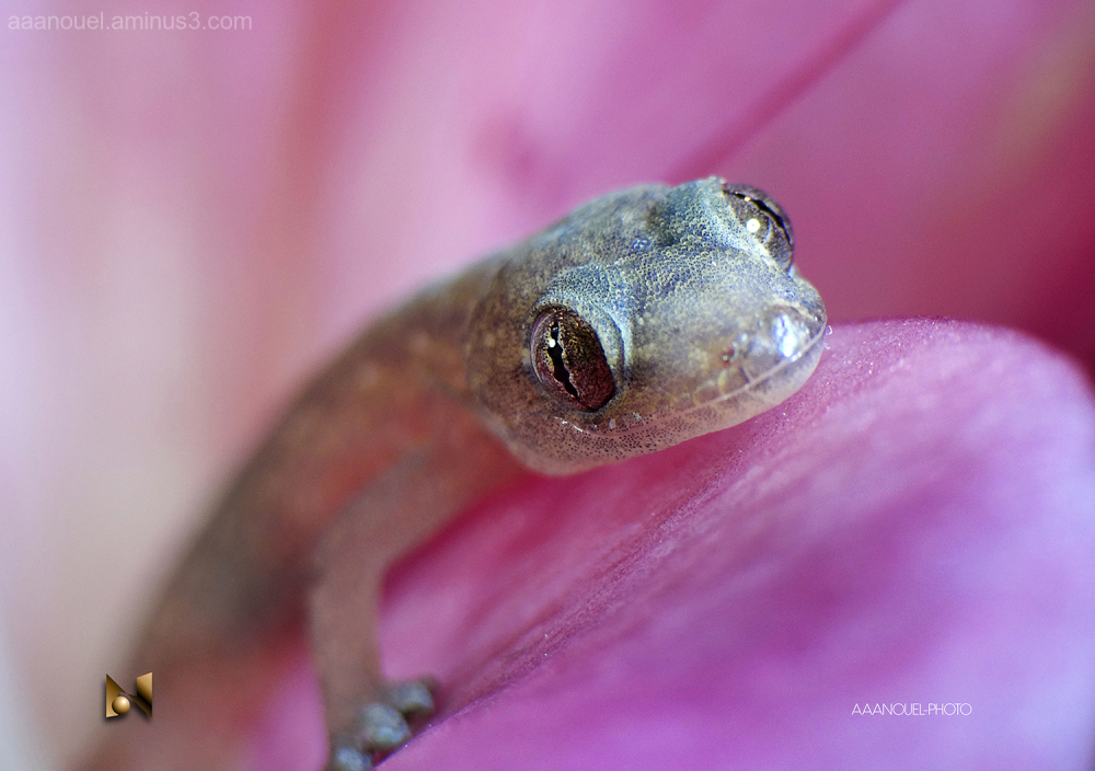 baby gecko tiny lizard macro aaanouel limpiacasa