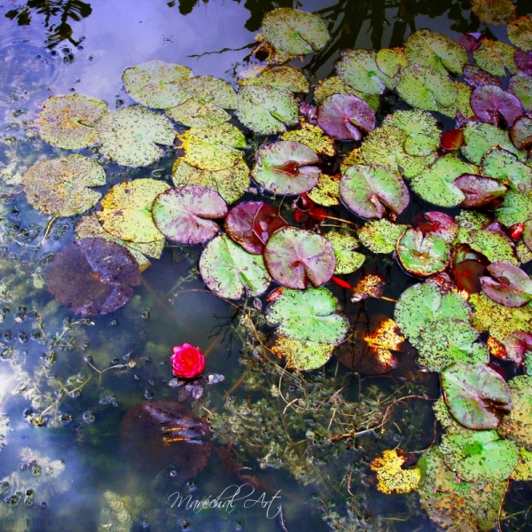 Waterlily in the sea