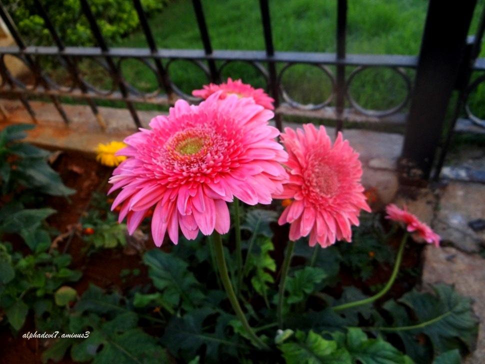 Raining Pink