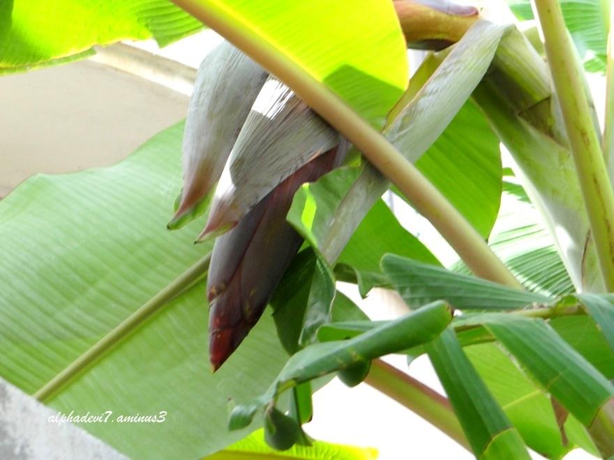 The Banana  bloomed   1